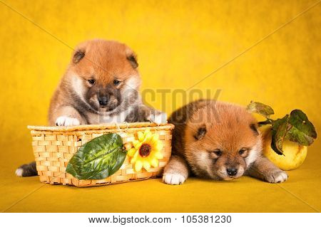 Shiba Inu sits on a yellow background in the basket
