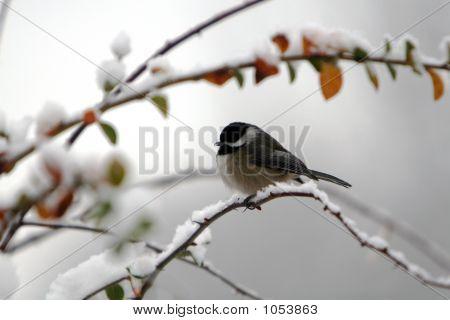 Snowbird On A Branch