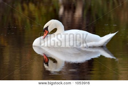 A Swan Preening Her Feather