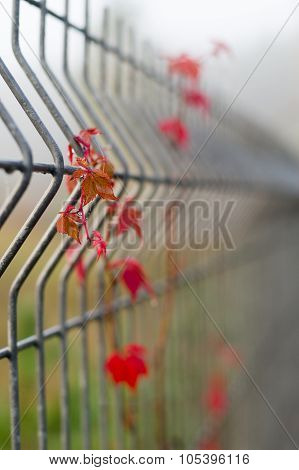 Red Vine On Protection Metal Rod Fence