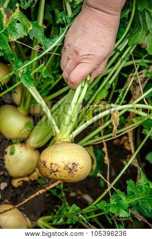 Hand Dragging Young Turnip