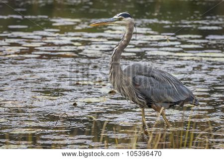 Great Blue Heron Stalking Its Prey In A Marsh