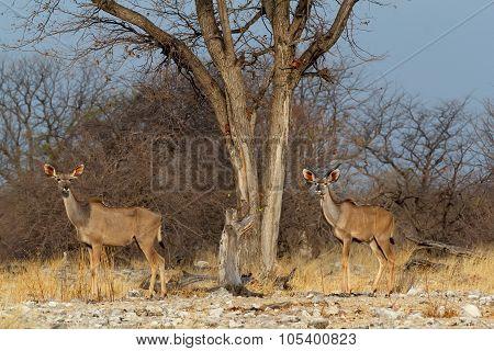 Herd Of Kudu On Way To Waterhole