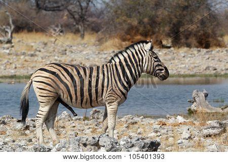 Zebra In African Bush On Waterhole