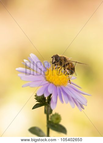 closeup honey bee on purple New York aster (botanical name: Aster novi-belgii or Symphyotrichum novi