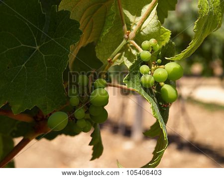 Toung Grapes In Vineyard