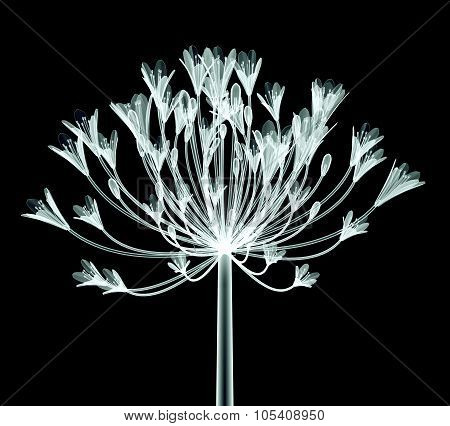 X-ray Image Of A Flower Isolated On Black , The Bell Agapanthus