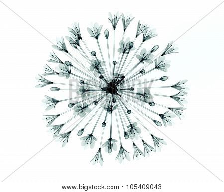 X-ray Image Of A Flower Isolated On White , The Bell Agapanthus