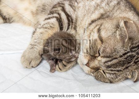 striped scottish fold cat with newborn kitten sleeping together