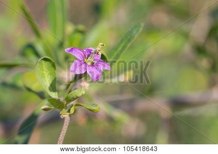 Lycium barbarum Tibetan goji barbary matrimony vine) - deciduous woody perennial