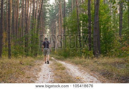 Lonely hiker on an earth road to evening pine forest