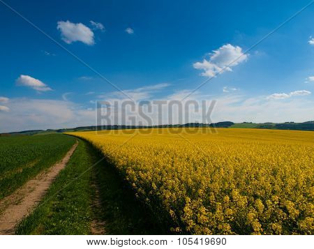 Rape plant field and country road on summer day