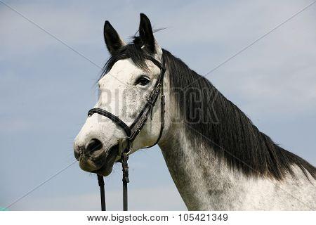 Portrait Of A Purebred Gray Horse Rural Scene