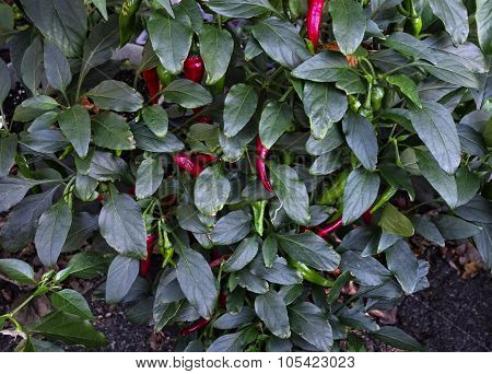 Japanese Shishito Pepper Plant