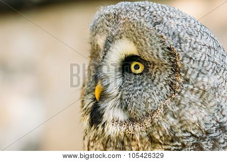 The great grey owl or great gray owl