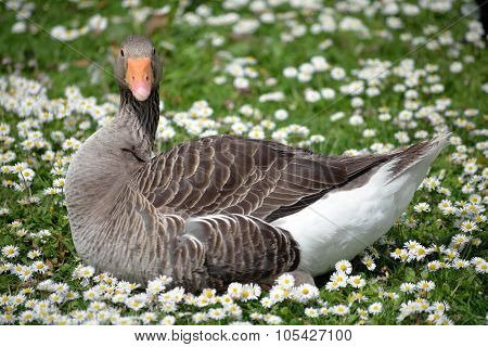 Lone Duck Among Daisies