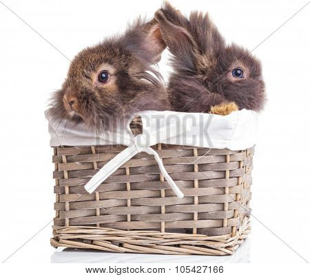 Side view of two adorable lion head rabbit bunnys sitting in a wood basket.