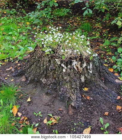 fabulous flowering stump