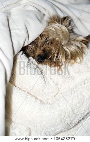 Mini Yorkie Having A Rest
