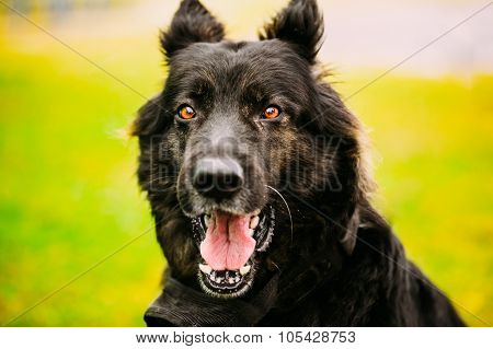 German Shepherd Dog Close Up