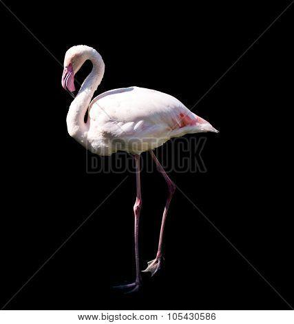 pink flamingo isolated on black background