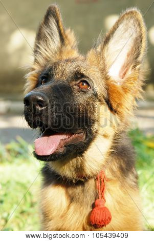 Close-up portrait of a beautiful young german shepherd dog puppy sitting in green grass