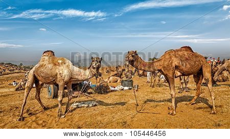 Panoramic image of camels at Pushkar Mela (Pushkar Camel Fair). Pushkar, Rajasthan, India