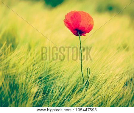 Vintage retro effect filtered hipster style image of Red poppy in green field. South Moravia, Czech Republic