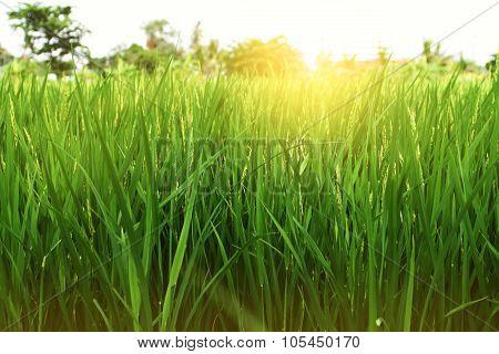 Green Rice Fields Were Ripening.