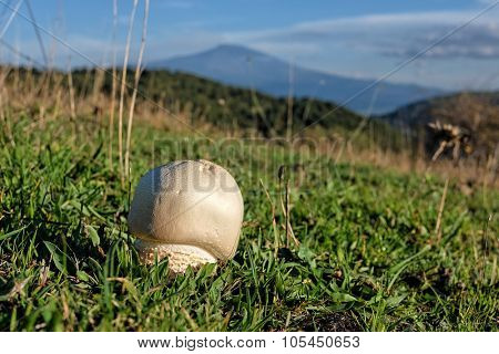 agaricus mooshroom and in backgroud volcano Etna in Nebrodi Park, Sicily