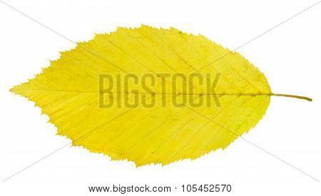 leaf hornbeam