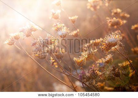 Flowers In Sunset Light