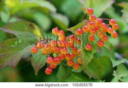 Guelder Rose (Viburnum Opulus) Berries In British Hedgerow