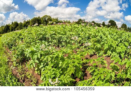 Fisheye View On The Potatoes Plantation In Summertime