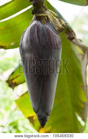 Banana Flower Bud