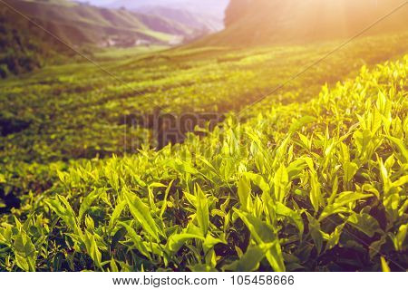 close up green Tea leves in Cameron highlands, Malaysia