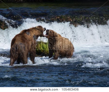 Grizzly Brown Bears Fighting in the Water