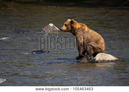 brown bear in lake Grizzley sits on rock Ursus arctos