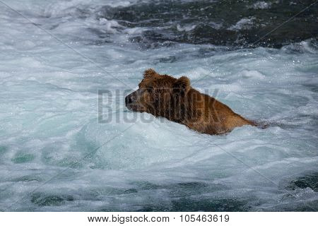 Brown bear on Alaska at Katmi National Park