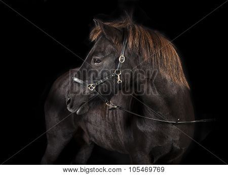 Black Icelandic Pony Studio