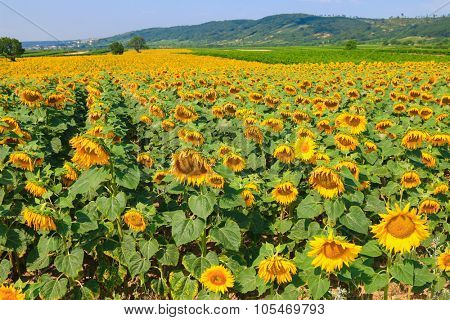 Landscape view of Sunflower field on a sunny day in Burgenland, Austria
