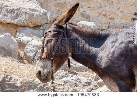 Greek Donkey. Rhodes