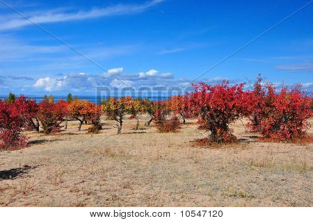 Wine red apricot orchard on sandy lakeside