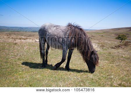 Wild Exmoor Pony On The Summer Pasture,great Britain