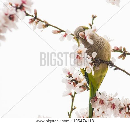 Green Budgies And Pink Spring Flowers, Madrid, Spain
