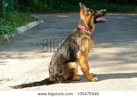 Beautiful young german shepherd dog puppy sitting on the road
