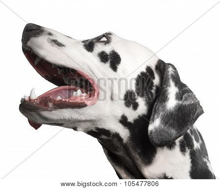 Dog Portrait Dalmatian Photo