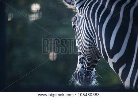 Portrait Of Zebra On Background
