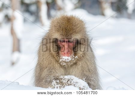 Japanese Snow Monkey Macaque at Jigokudani Yudanaka Nagano Japan