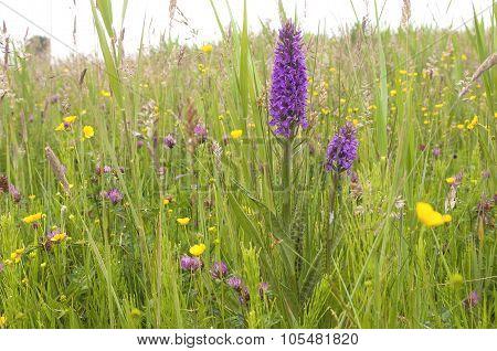 Leopard Marsh Orchid